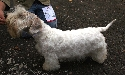 Rasy ps�w: Sealyham terrier