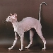 Rasy ps�w: Kot peterbald