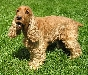 Rasy ps�w: Cocker spaniel angielski